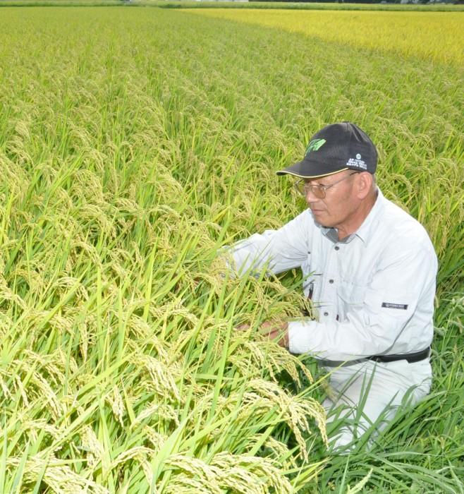 収穫前の稲を見守る山崎会長