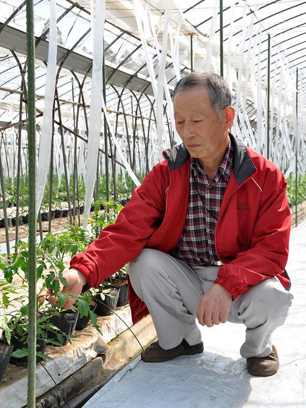 トマトの苗を見る飯村さん